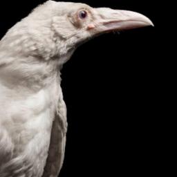 Albino_Raven