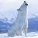 Arctic_-_Wolf's Avatar