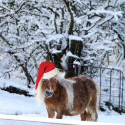 Shetland_Pony